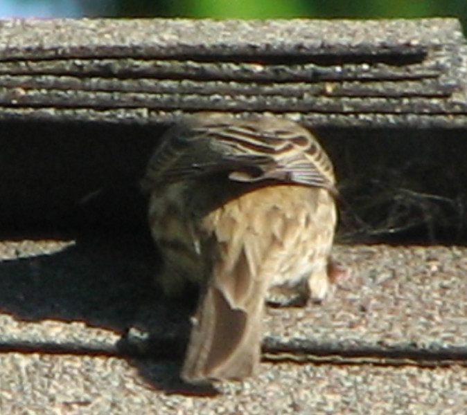 Female House Finch Gathering Fibers From Our Roof Cap_2