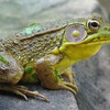 Male Green Frog at Pond With Duckweed Babies On Him