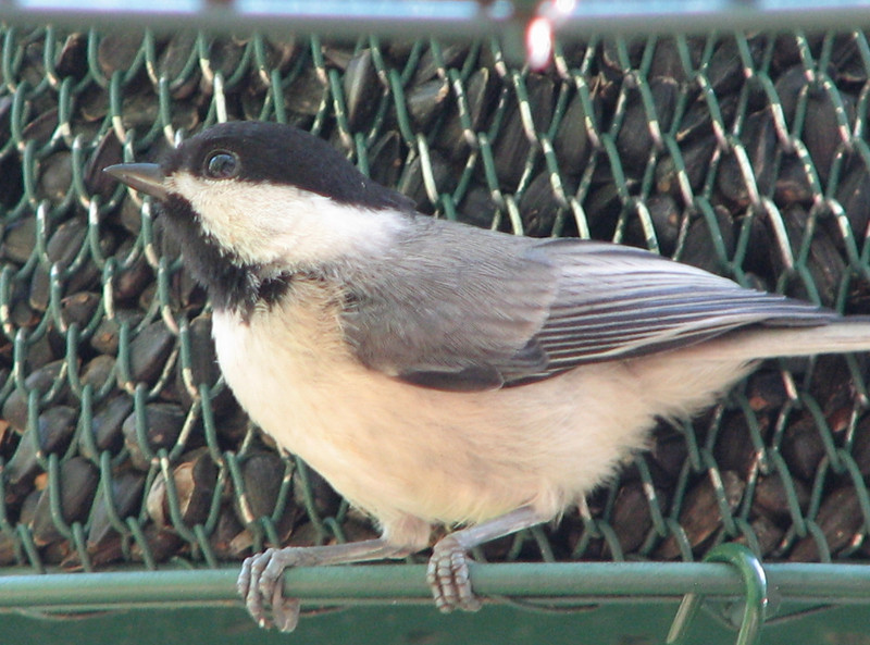One of the New Chickadees That Recently Fledged - June 10