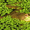 Male Green Frog Amidst Duckweed