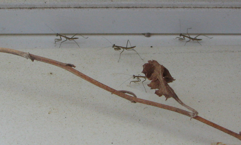 The Mantis Egg Case Is Getting Empty - May 13 - Mother's Day