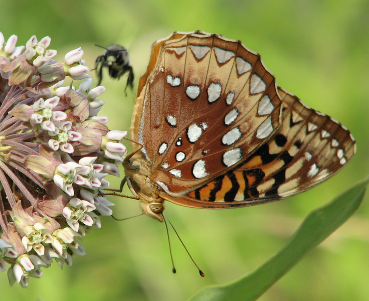 Bee Ready to Land on Common Milkweed to Share with Great-spangled Fritillary