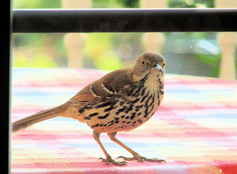 Hey Where Did You Go - I Wasn't Finished Impressing You - Brown Thrasher