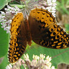 Great-spangled Fritillary on Common Milkweed_2