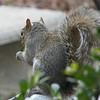 Squirrel Eating Holly Leaf - Feb. 20