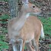 Young Deer Looking at Dog Next Door