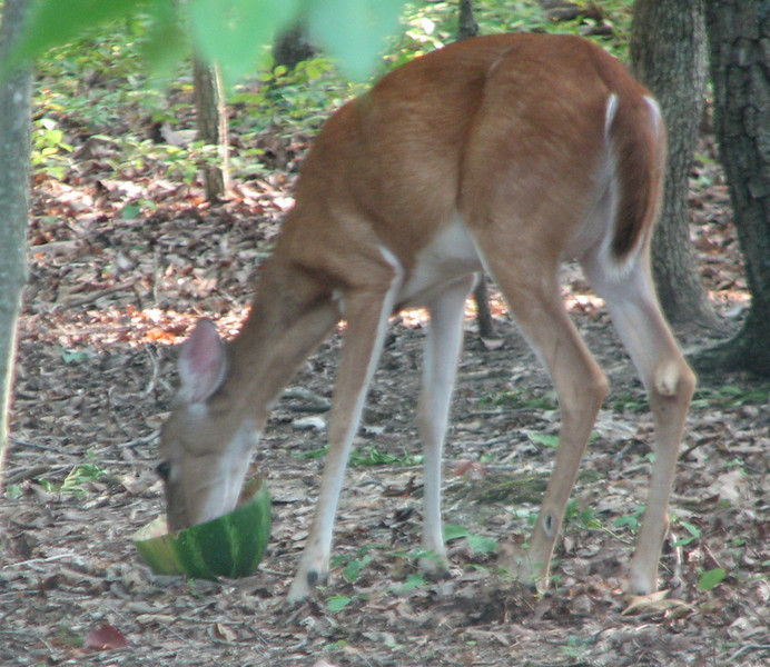 Deer Interested In The Watermelon