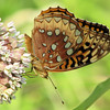Great-spangled Fritillary on Common Milkweed