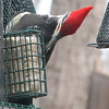 Pileated Woodpecker at Suet_2