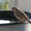Female House Finch - January