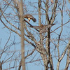 Red-Shouldered Hawks Were Flying From Our Place to Property Across Street
