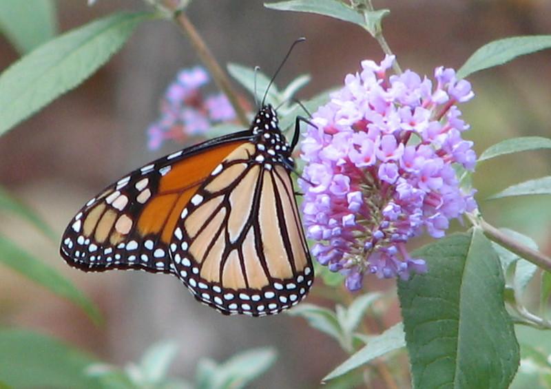 My November 1 Monarch