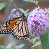 My November 1 Monarch