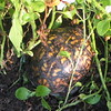 Box Turtle Hidden In The Front Garden Area