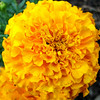Marigold Bloom