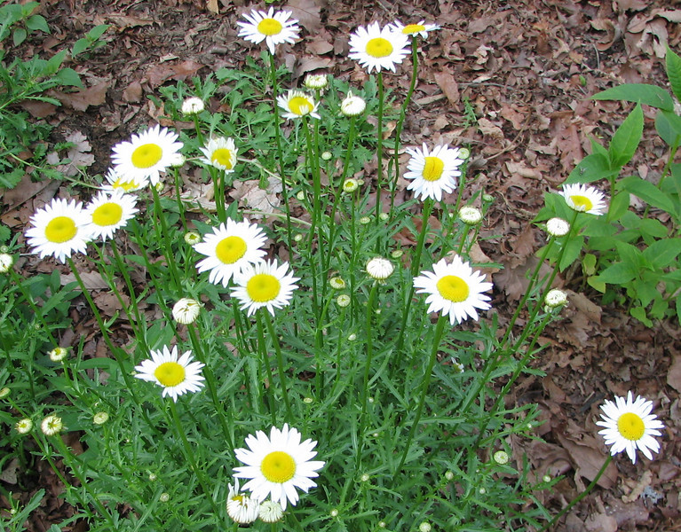 Daisies in Bloom - May 20