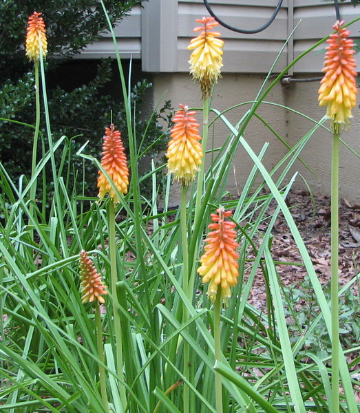 Torch Lilies