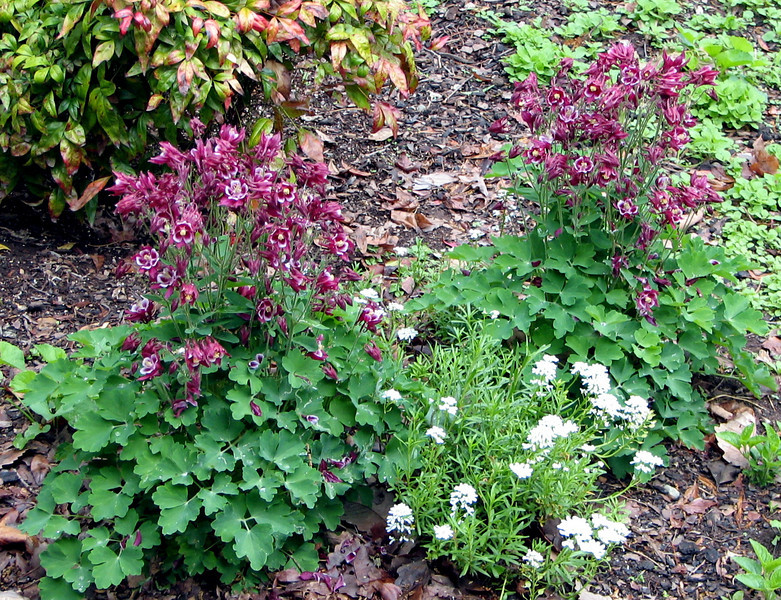 Allred Columbines - Planted Before One of Their Visits