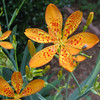 Blackberry Lily With Fly