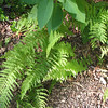 Fern Is More Lush and Pretty Each Year - In Front of Office Area