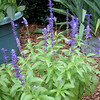 Our Faithful Purple Salvia