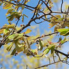 Serviceberry Is Producing Fruit - April 17