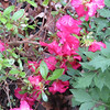 Azalea Color at the Front Porch