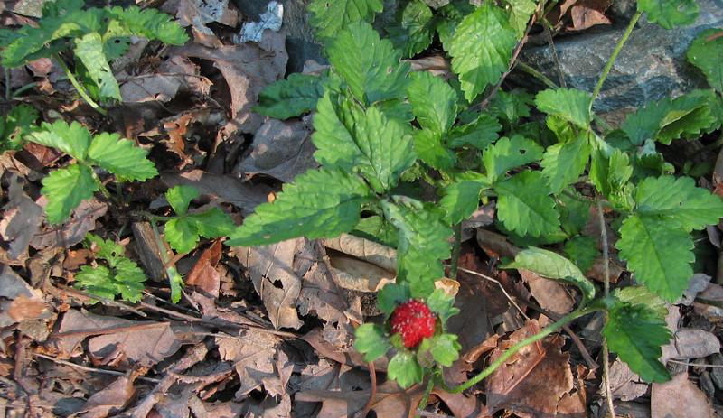 Wild Strawberries - May 20