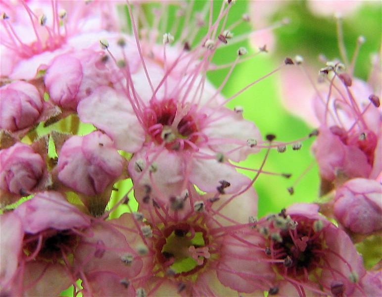 Close-up of Spirea Flower