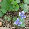 Violets - April 4