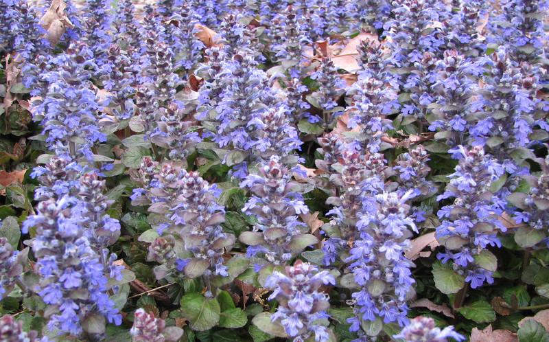 Lovely Ajuga in Bloom - Mid April