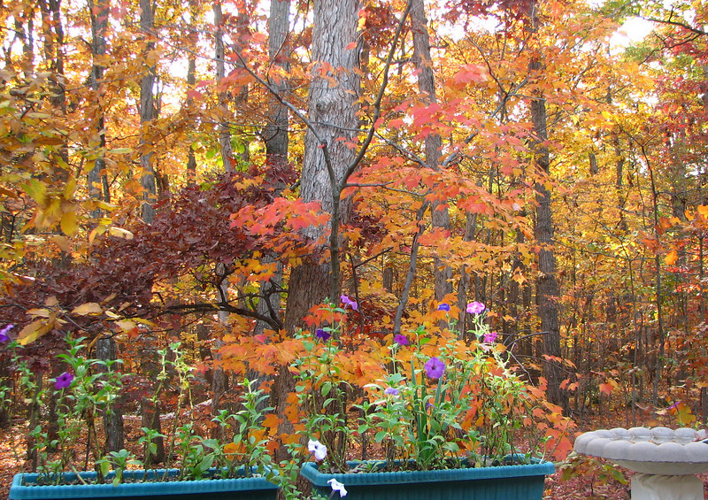 Our Autumn Deck Views - Summer Petunias Blooming With Fall Colors