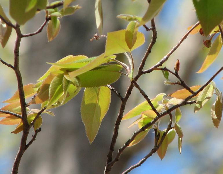 Serviceberry Leaves