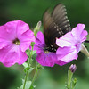 Swallowtail on Deck Heritage Petunias