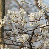 Serviceberry Blooming Behind Pond - March 28_2