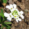 Snowflake Candytuft - April 3