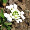 Snowflake Candytuft - April 3