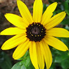 Black-eyed Susan - Look At The Tiny Flowers In The Center Cone