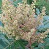 Winged Sumac - Blooms Turning Into Berries