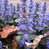 Ajuga or Bugleweed in Bloom - Mid April