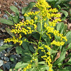 Late Goldenrod During Drought  10-16