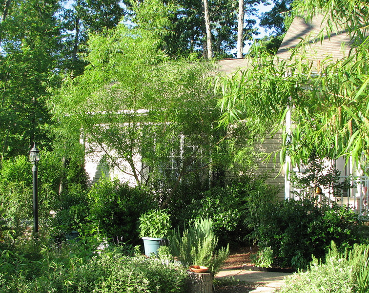 The Willow in Front of Garage Has Really Grown - I Love The Bushy Look
