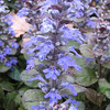 Close-up of Ajuga