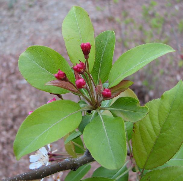 Crabapple Buds - April 19