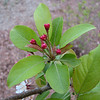 Crabapple Buds - April 19