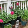 Deck Blooms