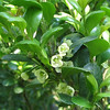 Tiny Holly Flowers - Outside Kitchen Window