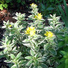 Loosestrife From Dotty in Bloom - June 10