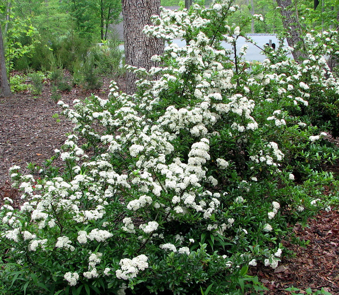 Pyracantha Bushes in Bloom