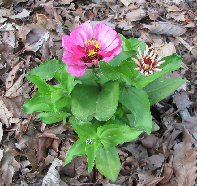 Zinnia Growing and Blooming - May 20